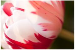 Tulpe 03
