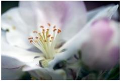 Apfelblüte 04