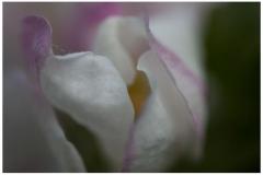 Apfelblüte 01