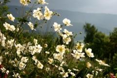 anemonen-web